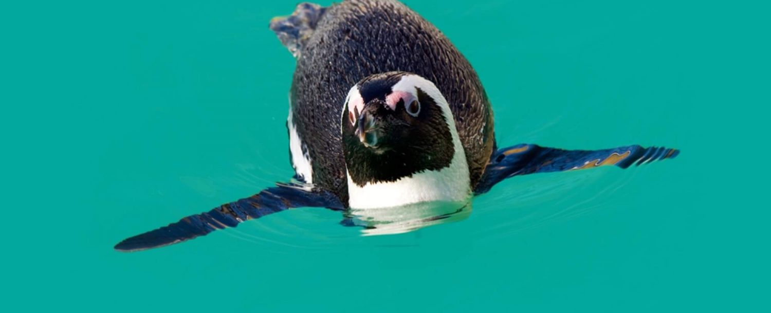 VRNMB-African-Penguin